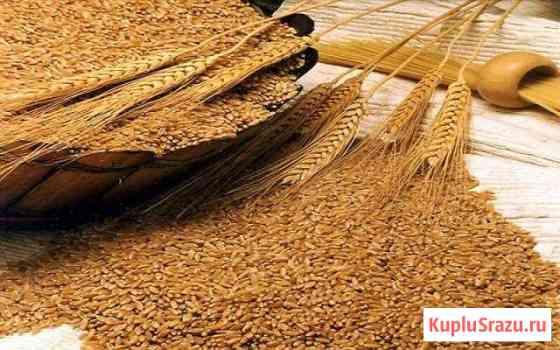 Пшеница Оса