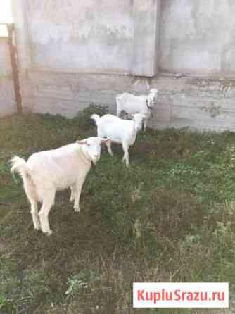 Продаются козы Нарткала