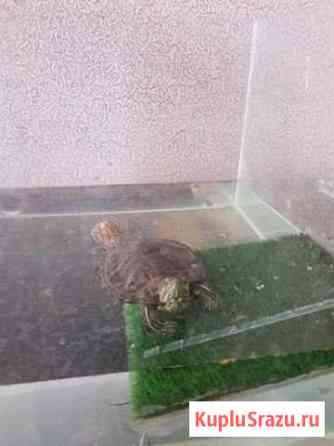 Черепаха Нальчик