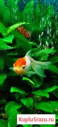 Золотая рыбка Калуга