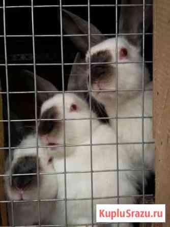 Кролики калифорнийские Медынь