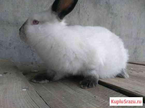 Кролики калифорнийские 2-3 месяца Хабез