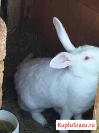 Кролик Усть-Джегута