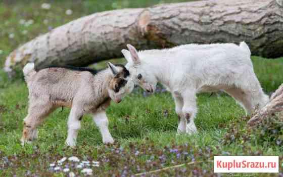 Козлята, козы Ангарск