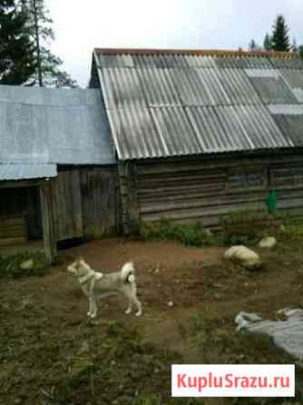 Западно сибирская лайка щенки Олонец