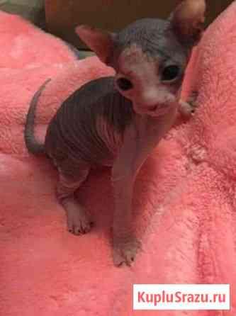 Открыта бронь на котят донской сфинкс родились 18 Нижний Одес
