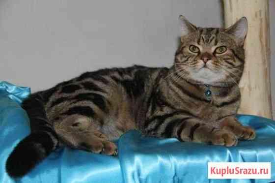 Шотландский кот Воркута