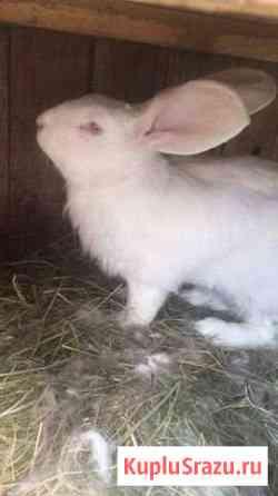 Кроликов Ризен Кемерово