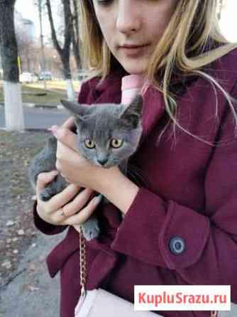Русская голубая кошка Железногорск
