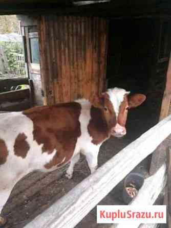 Корова. Телочка 6 месяцев Лесосибирск
