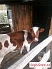 Корова. Телочка 6 месяцев