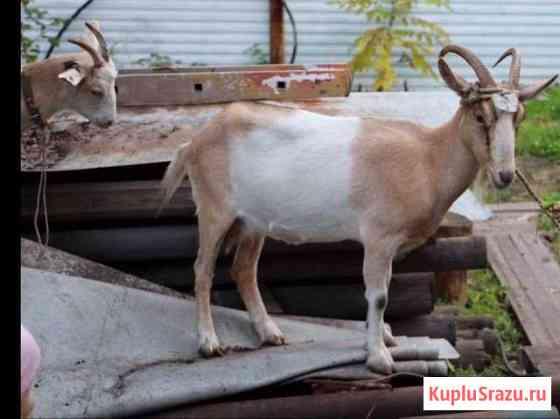 Коза альпийская помесная Красноярск