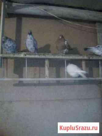 Продажа голубей Введенское
