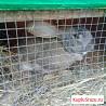 Продам Шикарного крола.Случка. Крольчата