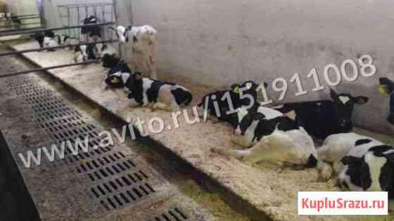 Хозяиство спкавидо продает телят на откорм Донское