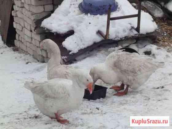 Холмогорские гуси на племя Данков