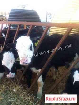 Телята бычки мясные для откорма Елец