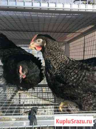 Куры Доминант, Родонит 4мес и другая птица Омск