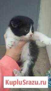 Вислоухий котенок Саракташ