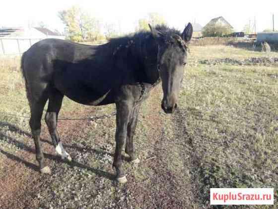 Продаю лошадь 1,5 года Саракташ