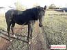 Продаю лошадь 1,5 года