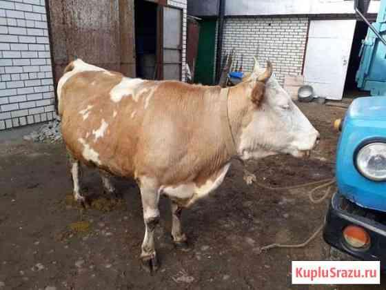Корова Средняя Елюзань