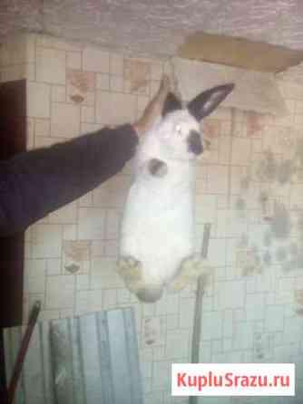 Кролики Калифорния Пенза