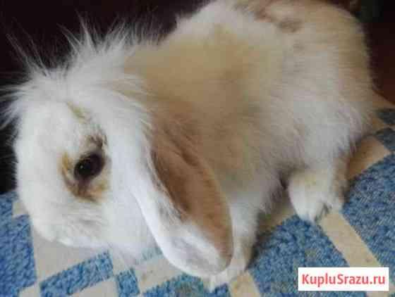 Кролик баран карликовый Омск