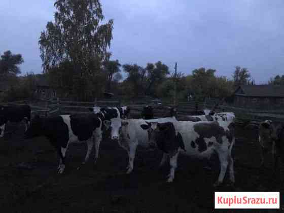 Коровы Сердобск
