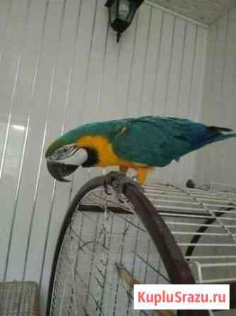 Попугай полуручной Пермь