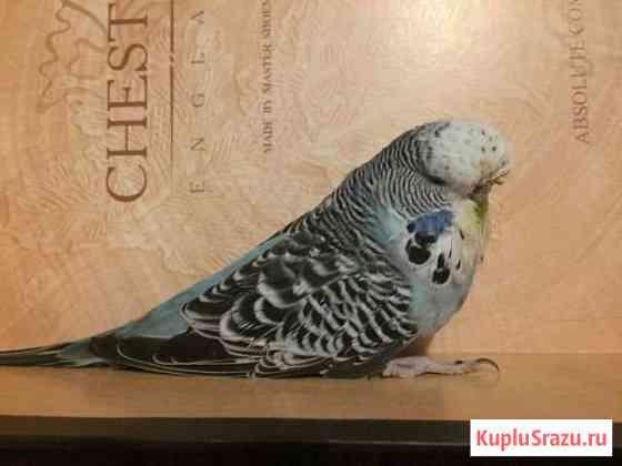 Попугаи чехи (ввп) Рязань