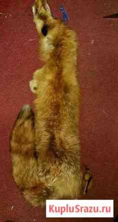 Шкурки Рыжей лисы Южно-Сахалинск
