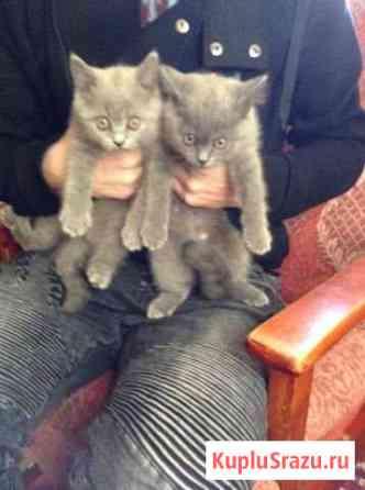 Котята мальчик и девочка/от британца и перса Рославль