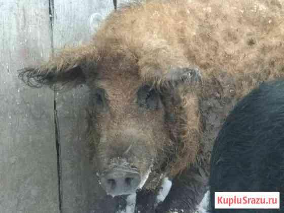 Мангалица хряк, свинья,покрытие Рославль