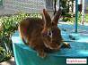 Кролики новозеландцы