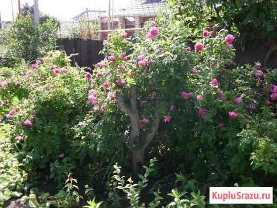 Саженцы войлочной вишни,элеутерокока,розы крымской Саратов