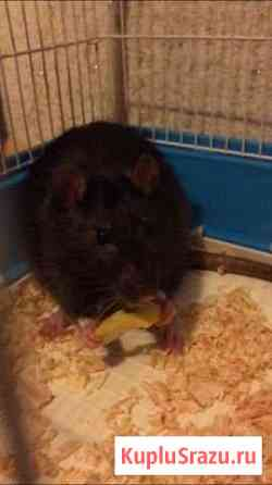 Ручная крыса Сеня в добрые руки Ставрополь