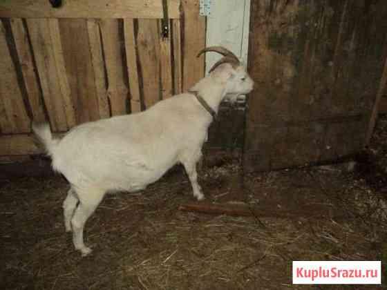 Коза ламанча Эммаусс