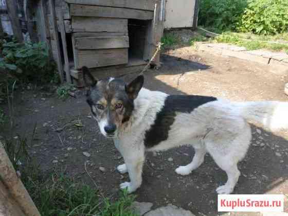 Цепная собака в хорошие руки Тула