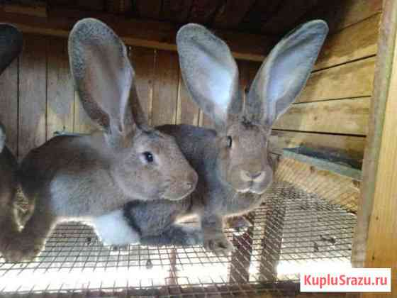 Кролики калифорнийцы Тула