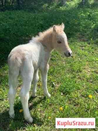 Красивый солово-пегий жеребчик пони Узловая