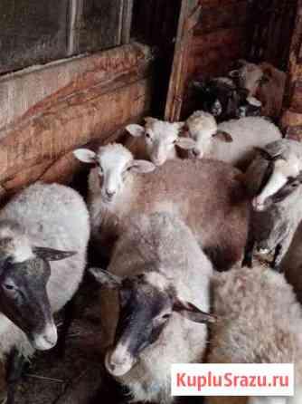 Овцы, козы Каскара