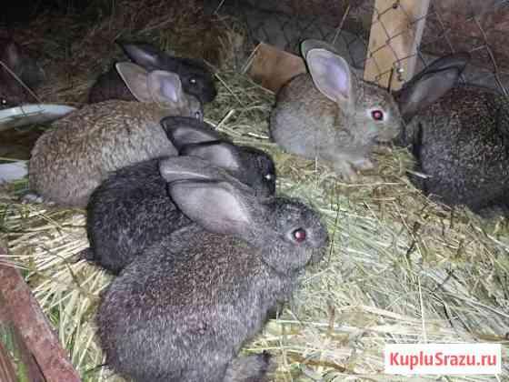 Кролики мясной породы Ижевск