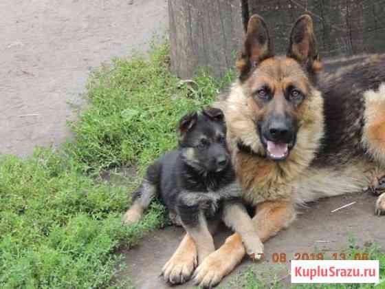 Немецкой овчарки щенок Майна