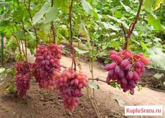 Саженцы винограда Кишмиш Ульяновск