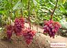 Саженцы винограда Кишмиш
