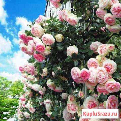 Саженцы плетистых роз Ульяновск