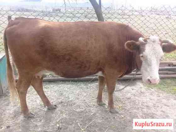 Корова Аргун