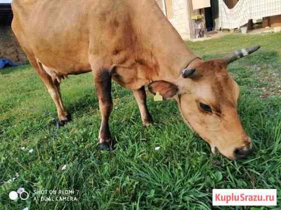 Корова дойная Алхан-Кала