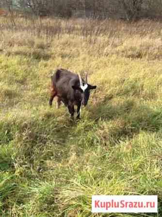 Коза на мясо Шумерля